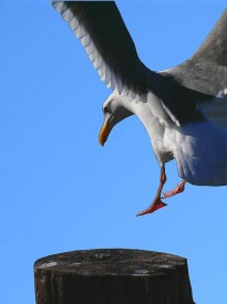 seagull-flight-landing
